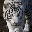 Stock Photo: Frightening look of white bengal tiger