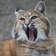 Royalty-Free Stock Photo: Yawning red bobcat
