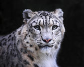 Isolated snow leopard on black background — Stock Photo