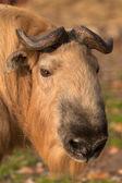 Side face portrait of a takin — Stock Photo