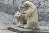Brottning isbjörn barn — Stockfoto