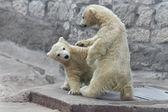 北极熊的孩子摔跤 — 图库照片