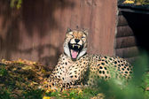 Laughing cheetah — Stock Photo