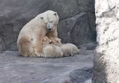 Alimentação da mãe do urso polar e seus filhotes — Foto Stock