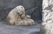 Mor till isbjörn med hennes ungar — Stockfoto
