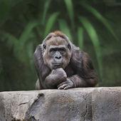 Thinking monkey — Stock Photo