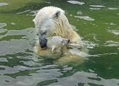 Kąpiel rodziny niedźwiedzi polarnych — Zdjęcie stockowe