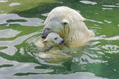 Bathing polar bears — Stockfoto