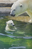 Polar bear mother is bathing her cub — 图库照片