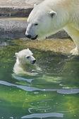 シロクマの母は彼女の赤ちゃんを入浴します。 — ストック写真