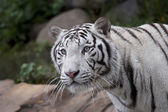 Stare of a white tiger in the forest — Stock Photo