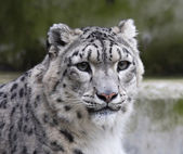 Eye to eye with a snow leopard — Stock Photo
