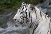 Side face portrait of a white bengal tiger — Stock Photo