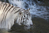 Fishing white bengal tiger in a stream — Stock Photo