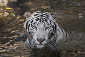 Bathing white bengal tiger — Stock Photo