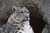 Half face portrait of a snow leopard — Stock Photo