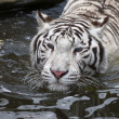 图库照片: White bengal tiger in autumn stream