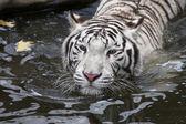 Biały Tygrys Bengalski w strumieniu jesień — Zdjęcie stockowe