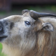 图库照片: Side face portrait of takin female
