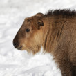 Stock Photo: Young golden goat antelope
