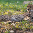 Stock Photo: Lying cheetah among fallen leaves