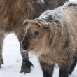 Royalty-Free Stock Photo: Cub of takin among snowflakes