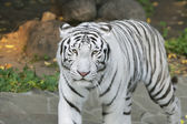Eye to eye with white bengal tiger — Stock Photo
