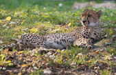 Lying cheetah among fallen leaves — Stock Photo