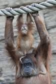 A rider on his mother. Happy orangutan family. — Stock Photo