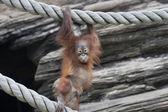 Posing of an orangutan baby — Zdjęcie stockowe