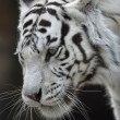 Stock Photo: White bengal tiger female, named Kali.