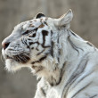 Stock Photo: Attention in eyes of white bengal tiger female, named Kali.