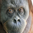 Stock Photo: Eye to eye with orangutfemale. Enimal close up portrait.