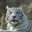 Royalty-Free Stock Photo: Drowsy look of the white bengal tiger, named Kali.