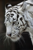 The white bengal tiger female, named Kali. — Stock Photo