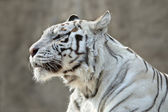 Attention in eyes of the white bengal tiger female, named Kali. — Stock Photo