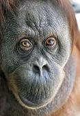 Eye to eye with an orangutan female. Enimal close up portrait. — Zdjęcie stockowe