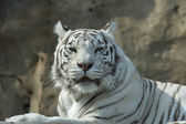 Drowsy look of the white bengal tiger, named Kali. — Stock Photo