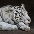 Awake eye of a white bengal tigress Kali in Moscow zoo — Stock Photo