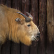 Stock Photo: Young male of chinese takin. Side face portrait of calf of golden goat antelope.