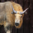 Stock Photo: Young male of chinese takin. Portrait of calf of golden goat antelope.