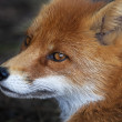 Stock Photo: Side face portrait of red fox male. head beautiful forest wild beast.