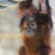 Постер, плакат: Stare of an orangutan baby looking into the camera