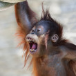 Happiness of an orangutan baby with open chaps. Merry young monkey in red shaggy fur. — Stock Photo