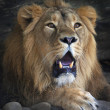 Stock Photo: Drowsy lion shows his huge fangs and very mighty paw.