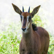 Stock Photo: A young sable antilope female on sunlit backgroun