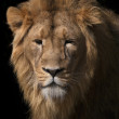 Stock Photo: Wild beauty of young Asilion. Sunlit face and splendid mane of King of beasts.
