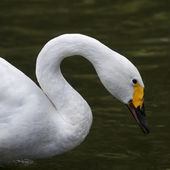 Side face portrait of a whooping swan. The head, neck and shoulder of a white swan with yellow beak. — Stock Photo