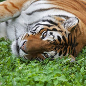 Eye to eye with a beautiful Siberian tigress. Face portrait of the biggest cat, lying on green grass. — Stock Photo