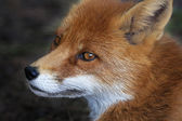 Side face portrait of a red fox male. The head a beautiful forest wild beast. — Stock Photo